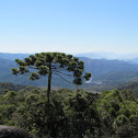 Araucaria - Candelabra Tree