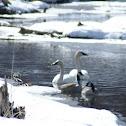 Trumpeter Swan Pair and Canada Geese Pair