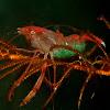Crinoid Boxer Shrimp