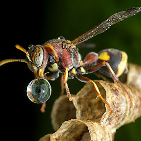 Wasp Blowing Droplet Is Back by Carrot Lim - Animals Insects & Spiders