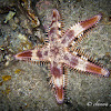 Comb Sea Star, Sand sifting starfish
