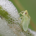 Meadow Spittlebug