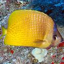 Blacklip Butterflyfish