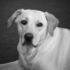 Ollie  by Toni Geib - Animals - Dogs Portraits ( animals, black and white, toni geib, dog, white lab, bella fotos )