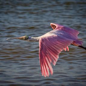 Spoonbill by Bill Killillay - Animals Birds ( fl, 2013, fort myers, fort myers beach, spoonbill, roset spoonbill, pink bird )