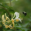 Eastern Bumble Bee