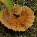 Woolly velvet polypore