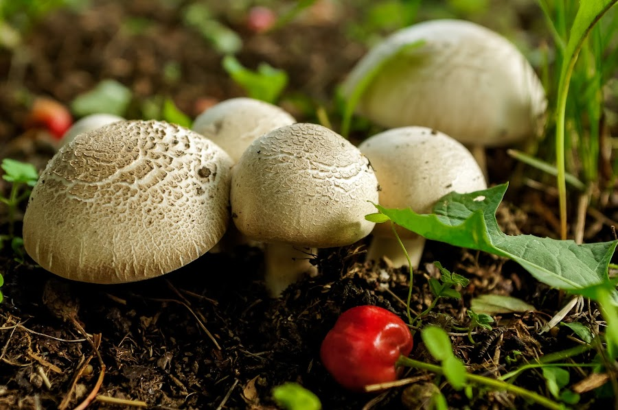 Smurfs village by Vladimir Maglov - Nature Up Close Mushrooms & Fungi ( mushroom, cherry, smurfs, macro, nature, village, garden, mushrooms,  )