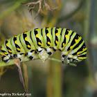 Black swallowtail caterpillars (4th instars)