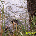 Ibis blanco