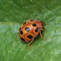 Twelve-spotted Melon Beetle