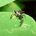 Jumper Spider - Araña Saltona