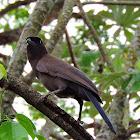 Gralha-do-pantanal (Purplish Jay)