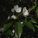 Mountain-laurel