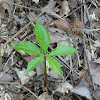 Five-leaved Jack-in-the-pulpit