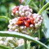 Nymph Of Milkweed Bug