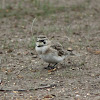 Horned Lark (female)