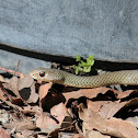 Yellow-faced Whip-Snake
