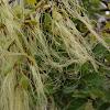 Barba de Angel, Feathery Mistletoe