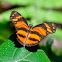 Longwing crescent