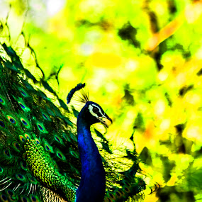 The Indian Peacock By Megh Shah by Megh Shah - Animals Other ( #peacock #green #camera #photography #edit )