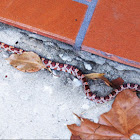 Corn Snake or Red Rat Snake