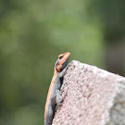 Indian rock agama