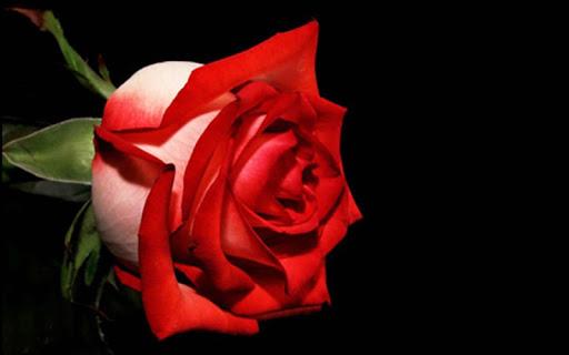 Rose Wallpaper  screenshots 1