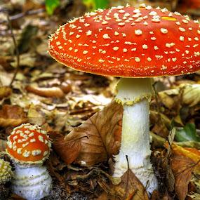 Forest fungi by Mike Bing - Nature Up Close Mushrooms & Fungi ( mushroom, nature, natural )