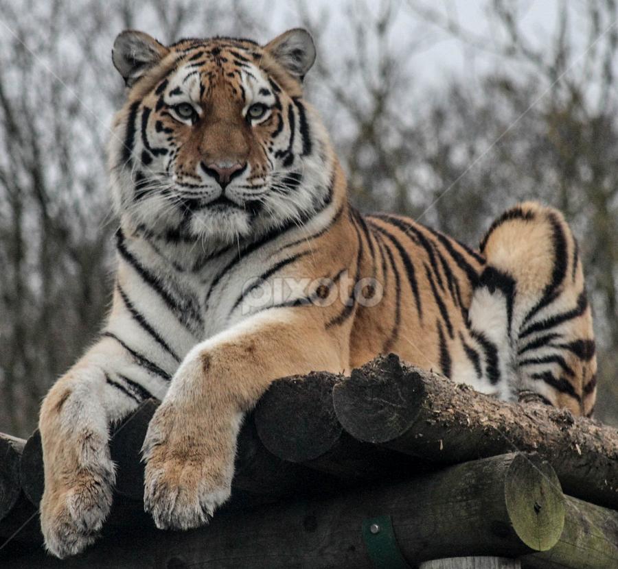 Aleena by Garry Chisholm - Animals Lions, Tigers & Big Cats ( garry chisholm, predator, carnivore, cat, nature, tiger, wildlife )