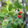 Prairie Wild Rose  fruit