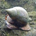 True Tulip Snail
