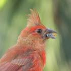 Cardinal-male juvenile