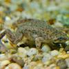 Congo Dwarf Clawed Frog