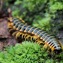 Polydesmid Millipede