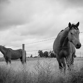 by Dan Bartlett - Black & White Animals ( horses )