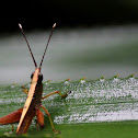 Tooth Legged Grasshoper