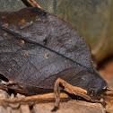 Dead Leaf Mimetica/Katydid