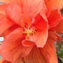Hibiscus, Tropical Hibiscus Double Orange