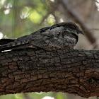 Grey Nightjar