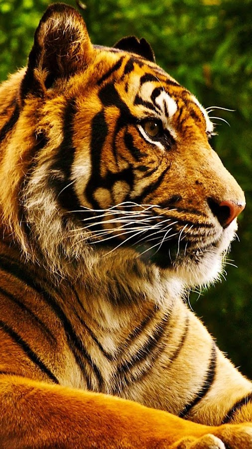 Tigers Live Wallpaper - screenshot