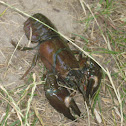 Cangrejo señal - Signal crayfish