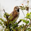 Kenya sparrow