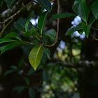 Ficus tuerekoeimii