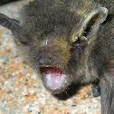 Vesper bat