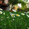 Common daisy/Navadna marjetica