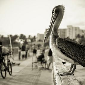 Watcher by Nemanja Stanisic - City,  Street & Park  Street Scenes ( bird, street, pier, watcher, pelican )