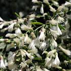 Groundsel bush, Baccharis