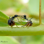 Ant mimicking treehoppers mating
