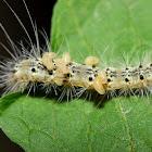 Fall Webworm Moth Caterpillar with Parasitic Wasp Larvae
